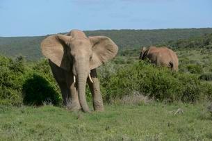 African Elephants (Loxodonta africana), Addo Elephantの写真素材 [FYI02707404]