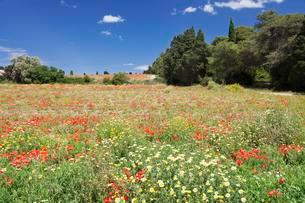 Meadow with wildflowers in Otranto, Province of Lecceの写真素材 [FYI02707414]