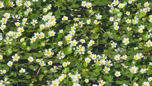 River water-crowfoot(Ranunculus fluitans) San Nicol?の写真素材 [FYI02707423]