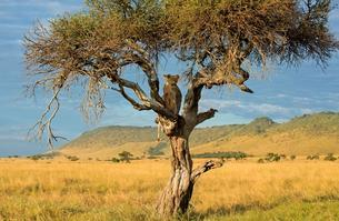 Lioness (Panthera leo), sitting on a tree with wild boarの写真素材 [FYI02707433]