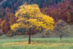 Yellow coloured tree in front of autumnal forest, autumnの写真素材 [FYI02707439]