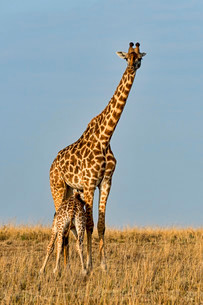 Giraffes (Giraffa camelopardalis), adult female with youngの写真素材 [FYI02707444]