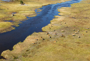 Red Lechwe (Kobus leche leche) herd in the freshwaterの写真素材 [FYI02707449]