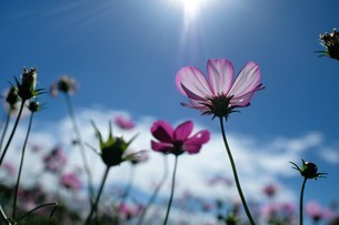 Close-up shot of pink daisy;Taiwanの写真素材 [FYI02707510]