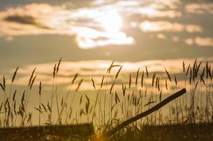 Silhouette Of Grass Flower On Sunset; Tongjiang;Jiamusi;Heilongjiang;Chinaの写真素材 [FYI02707516]