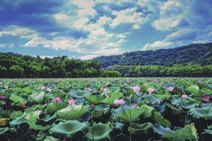 West Lake lotus,Hangzhou,Zhejiang,Chinaの写真素材 [FYI02707565]