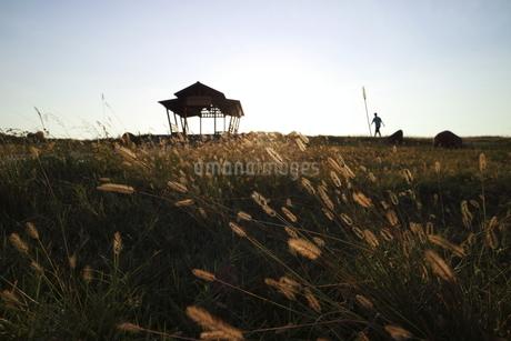 man walks through grass; Foxtailの写真素材 [FYI02707584]