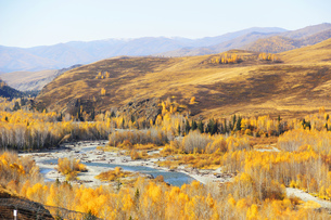 The forest of white birch in Kanas, Xinjiang, Chinaの写真素材 [FYI02707698]