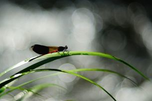drganfly stay on the sweet grassの写真素材 [FYI02707714]