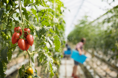 Green tomatoes growing on tomato plant vine in greenhouseの写真素材 [FYI02708060]