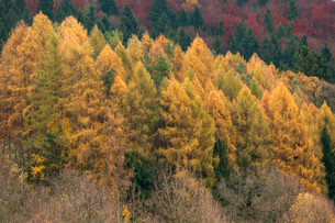 Larch forest (Larix decidua) in the autumn, Franconianの写真素材 [FYI02708365]
