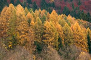 Larch forest (Larix decidua) in the autumn, Franconianの写真素材 [FYI02708365]