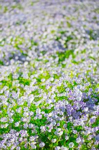 ネモフィラ・マキュラータの花の写真素材 [FYI02708408]