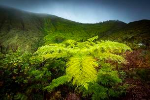 Tree fern (Cyatheales) in front of mountain slopes in theの写真素材 [FYI02708506]