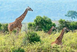 Giraffes (Giraffa camelopardalis), Arusha, Tanzania, Africaの写真素材 [FYI02708519]