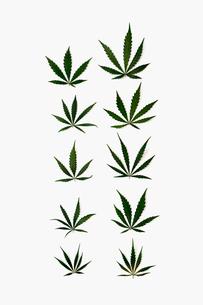 Knolling of marijuana leavesの写真素材 [FYI02708529]