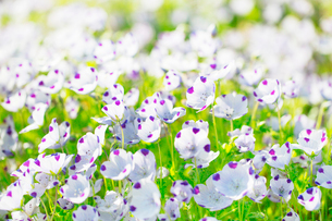 ネモフィラ・マキュラータの花の写真素材 [FYI02708620]