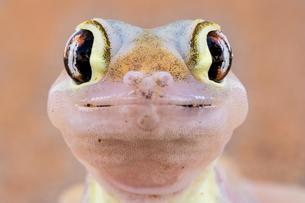 Namib sand gecko (Pachydactylus rangei), animal portraitの写真素材 [FYI02708737]