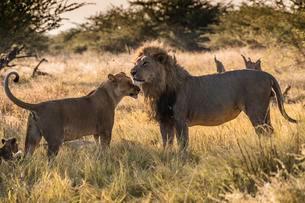 Lions (Panthera leo), pair, Chobe National Park, Botswanaの写真素材 [FYI02708745]