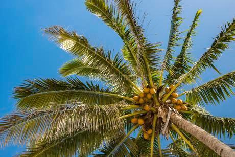 Coconut palm (Cocos nucifera) with coconuts, Rarotongaの写真素材 [FYI02708748]