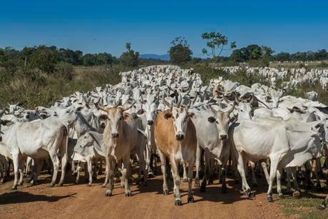 Herd of Nelore cattle, Pantanal, Mato Grosso do Sulの写真素材 [FYI02708749]