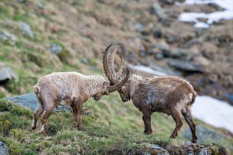Alpine ibex (Capra ibex), also steinbock or Ibex, fightingの写真素材 [FYI02708782]