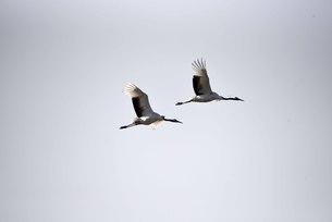 Yancheng, Jiangsu: Red-crowned Cranes in the Morningの写真素材 [FYI02708812]