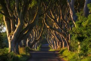 Beech tree avenue, The Dark Hedges, Ballymoney, Countyの写真素材 [FYI02708866]