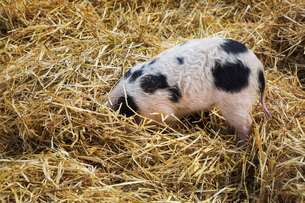 High angle close up of Gloucester Old Spot pig with its head burried in straw.の写真素材 [FYI02708883]