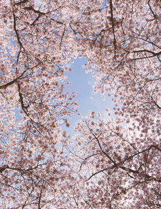 Frothy pink cherry blossom on cherry trees in springの写真素材 [FYI02708897]