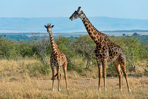 Giraffes (Giraffa camelopardalis), Maasai Mara Nationalの写真素材 [FYI02708955]