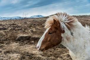 Brown Icelandic horse, Icelandic horse breed (Equusの写真素材 [FYI02708971]