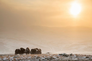 Muskoxen (Ovibos moschatus) in a snowstorm in backlightの写真素材 [FYI02708977]