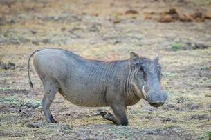 Warthog (Phacochoerus africanus), feeding, South Luangwaの写真素材 [FYI02708994]
