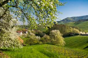 Flowering fruit trees, Sasbachwalden, Ortenau, Blackの写真素材 [FYI02708997]