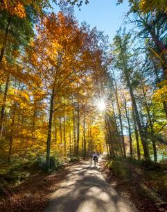 Sun shines through colorfully autumn leaves, two strollersの写真素材 [FYI02709007]