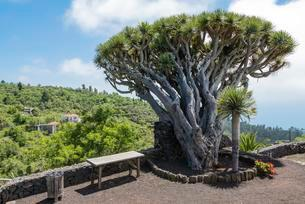 Canary Islands Dragon Tree (Dracaena draco), La Palmaの写真素材 [FYI02709094]