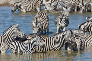 Burchell's zebra, Equus quagga burchellii, standing in watering hole.の写真素材 [FYI02709105]