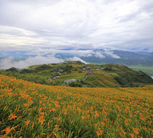 Flower farm; Orange Daylilyの写真素材 [FYI02709131]