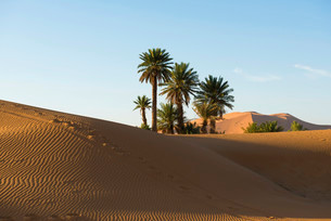 Dunes and palm trees in morning light, Merzougaの写真素材 [FYI02709135]