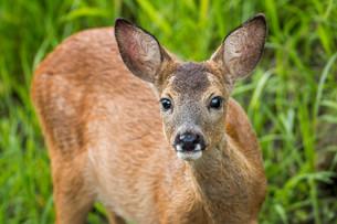 Reh (Capreolus capreolus) captive buck, fawn, portraitの写真素材 [FYI02709140]