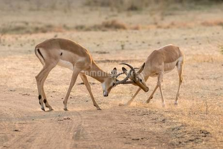 Impalas (Aepyceros melampus), fighting, South Luangwaの写真素材 [FYI02709157]