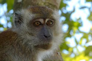 Crab-eating macaque or long-tailed macaque (Macacaの写真素材 [FYI02709176]