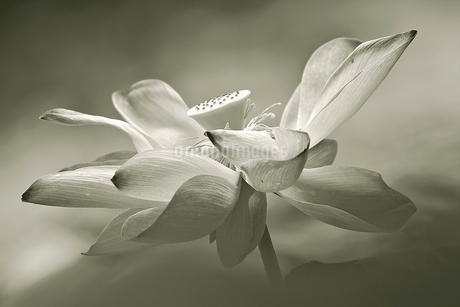 Lotus;Singaporeの写真素材 [FYI02709194]