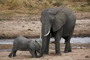 African bush elephants (Loxodonta africana), cow and calfの写真素材 [FYI02709221]