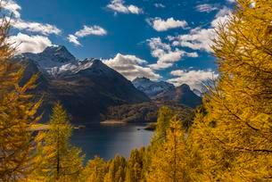 Autumnal discoloured Larches (Larix) with Silser See inの写真素材 [FYI02709223]
