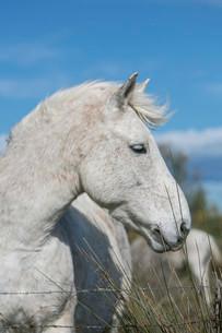 Wild horse in the Camargue, Saintes-Maries-de-la-Merの写真素材 [FYI02709413]