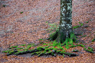 Roots of a beech tree, Monte Cucco Regional Park, Umbriaの写真素材 [FYI02709426]