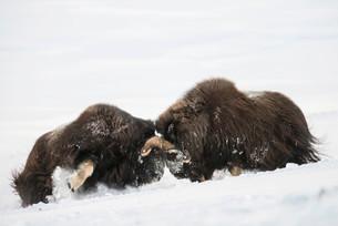 Muskoxen (Ovibos moschatus) fighting in the snowの写真素材 [FYI02709448]