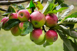 Close up of red and green apples on branch of an apple tree.の写真素材 [FYI02709515]